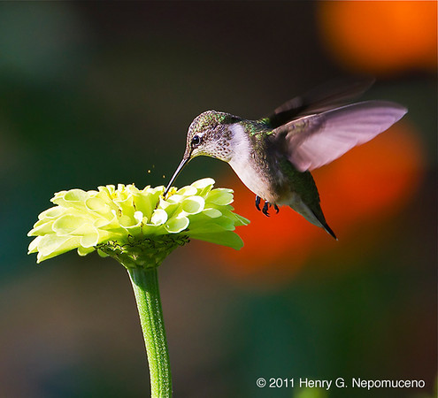 Ruby throated hummingbird, Chicago, IL.  Copyright © 2011 Henry G. Nepomuceno
