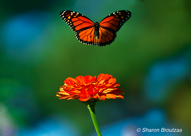 Monarch butterfly, Chicago, IL.  Copyright © 2011 Sharon K. Broutzas.
