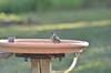 Gingins, bird bath, water, chickadee