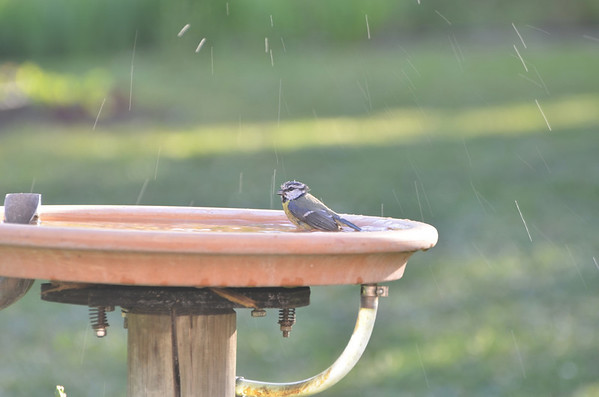 Gingins, bird bath, water, chickadee