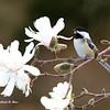 magnolia 010m