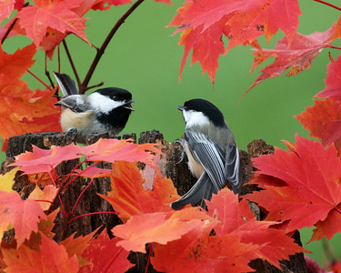 Black-capped,Chickadee
