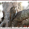 Brown Creeper - March 26, 2007 - Lower Sackville, NS