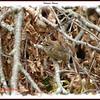 Winter Wren - September 22, 2007 - Lower Sackville, NS
