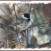 Black-capped Chickadee - March 27, 2008 - Lower Sackville, NS