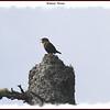 Winter Wren - Apr1l 30, 2011 - Mount Uniacke, NS