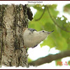 White-breasted Nuthatch - September 15, 2006