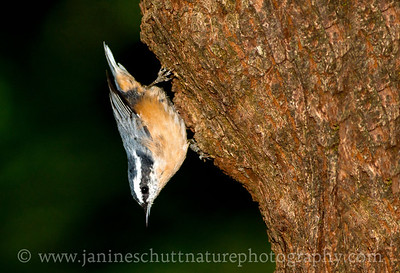 Red-breasted Nuthatch near Bremerton, Washington.