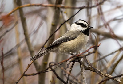 Mountain Chickadee near Cle Elum, Washington.