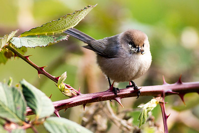 Male Bushtit near Port Orchard, Washington.