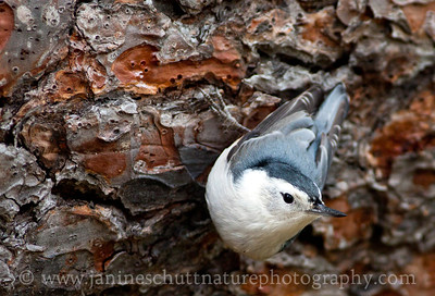 White-breasted Nuthatch at Turnbull National Wildlife Refuge near Cheney, Washington.