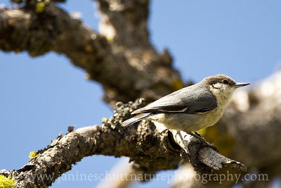 Pygmy Nuthatch near Cle Elum, Washington.