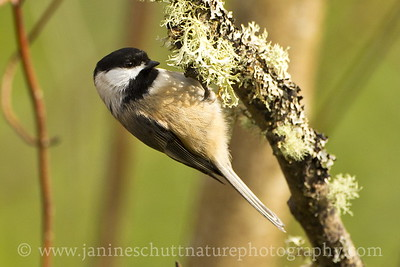 Black-capped Chickadee at Titlow Park in Tacoma, Washington.