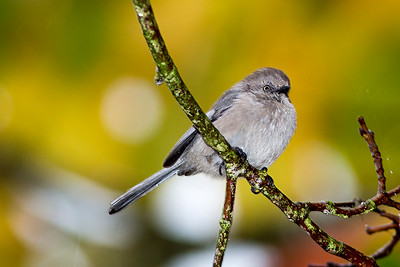 Female Bushtit at Evergreen Rotary Park in Bremerton, Washington.