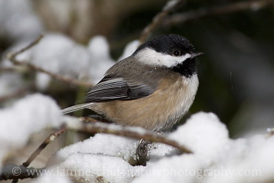 Black-capped Chickadee on a snowy day.  Photo taken near Bremerton, Washington.