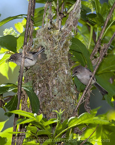 Bushtit pair putting finishing touches on their nest.  Photo taken at Fish Park in Poulsbo, Washington.