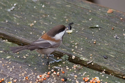 Chestnut back Chickadee