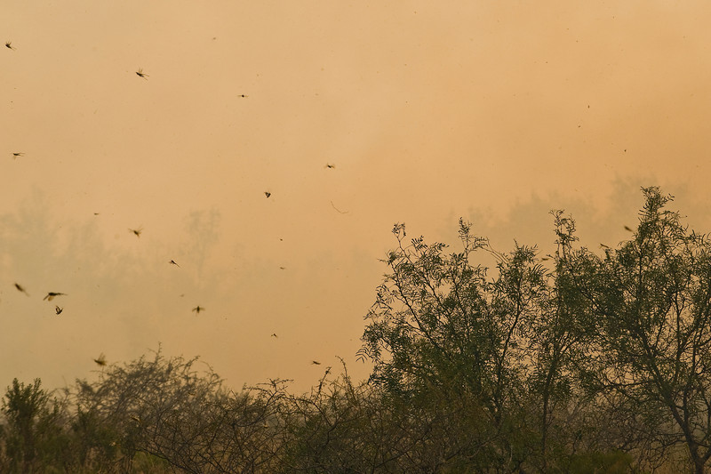 More grasshoppers in the smoke.
