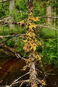 Lichen, Chilkoot Trail