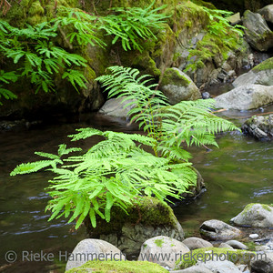 Stream with Ferns and Rocks - Goldstream Provincial Park, Vancouver Island, Canada
