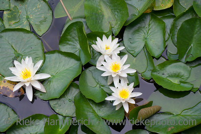 White Water Lily in Pond - Nymphaea alba in Dr. Sun Yat-Sen Classical Chinese Garden, Vancouver, British Columbia, Canada