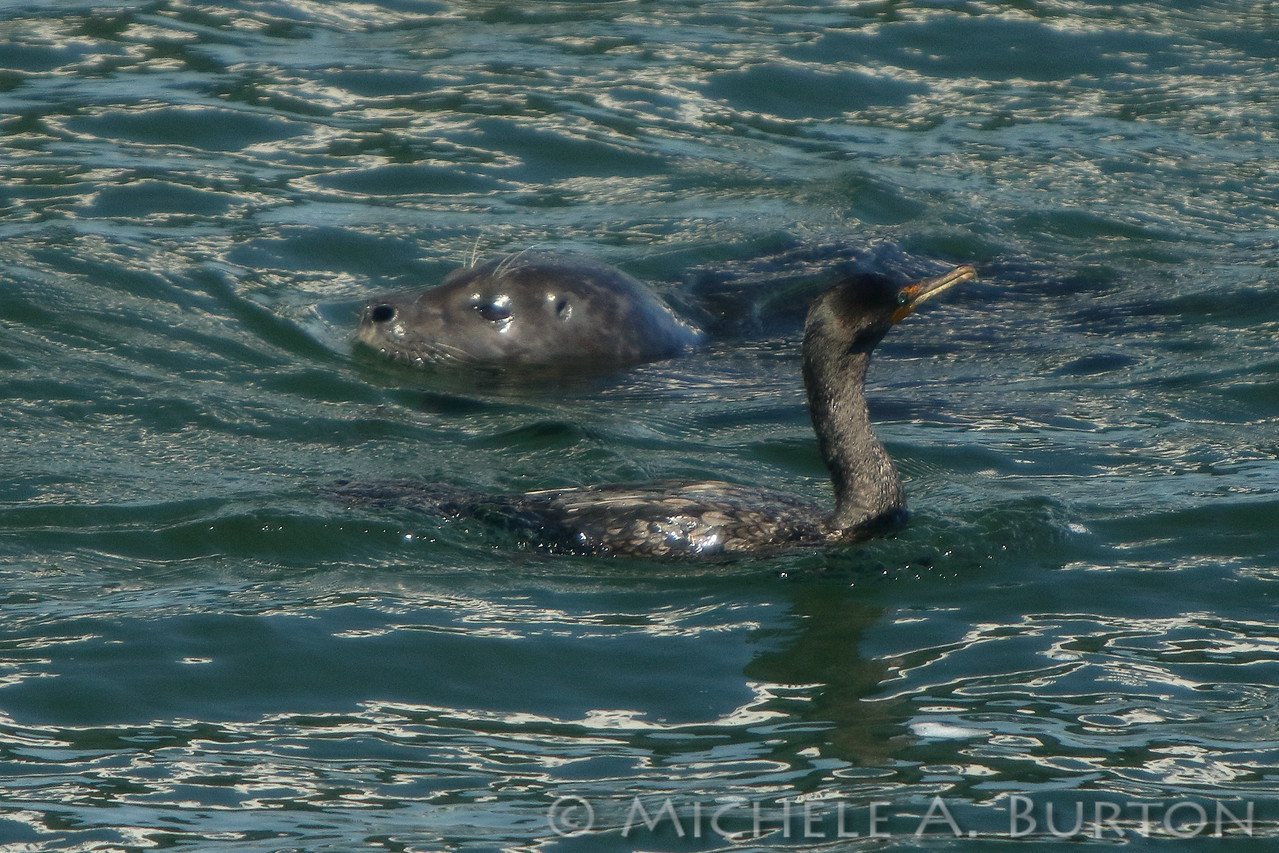 Everybody eats during the Fall Chinook run. Harbor seals and cormorants each enjoy the good eats. Like the gulls, the cormorant is hoping for some leftover scraps from the seal's supper.