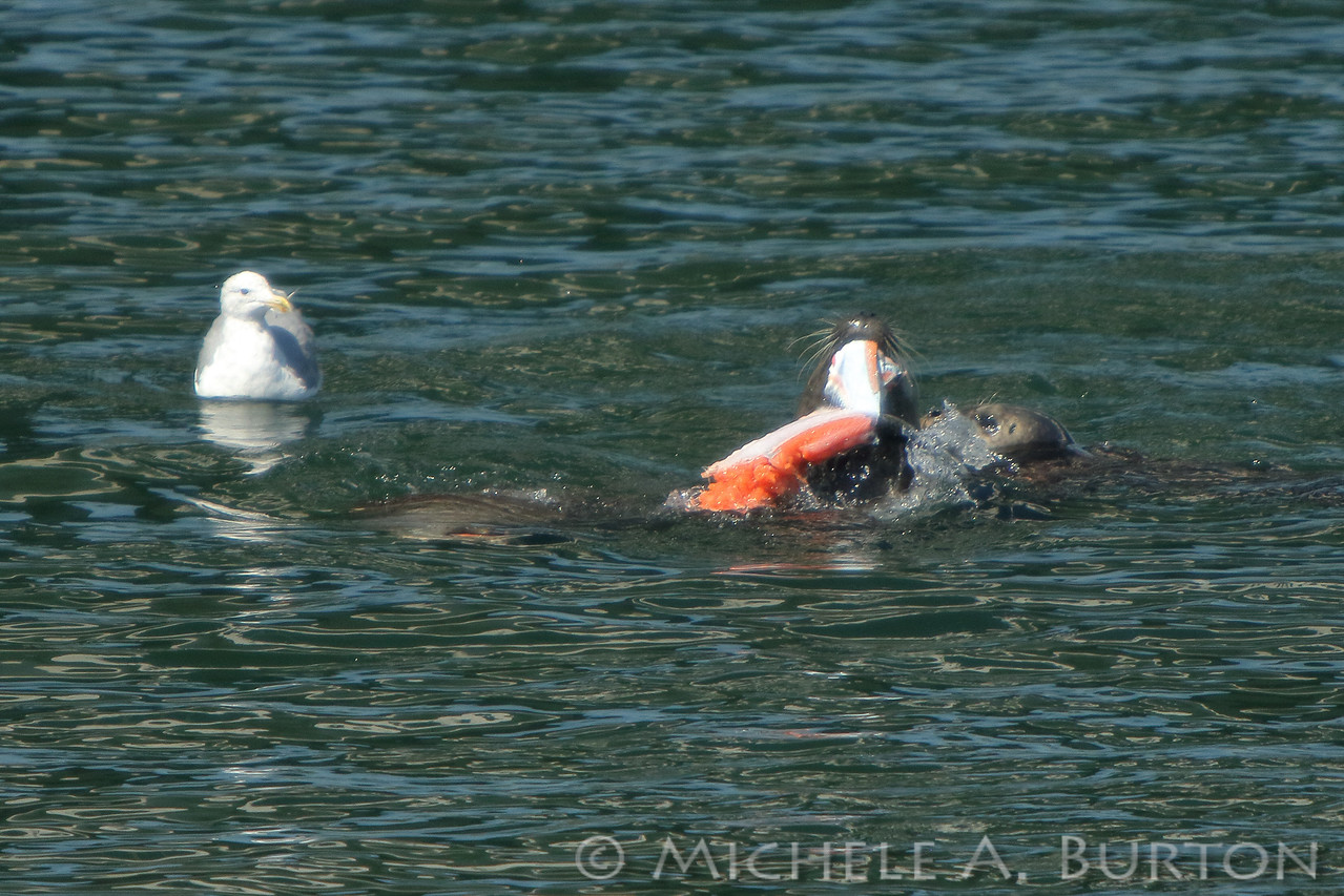 A hungry gull watches as a Harbor seal skins its freshly caught salmon during the Fall Chinook Run in Olympia, WA