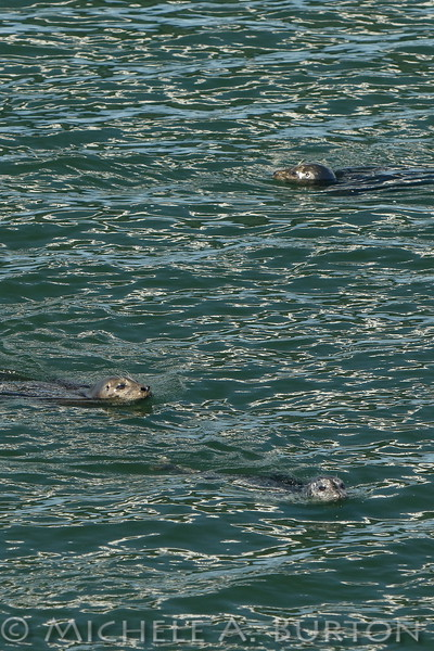 Three Harbor seals anticipate their next salmon feast during the Fall Chinook Run in Olympia.