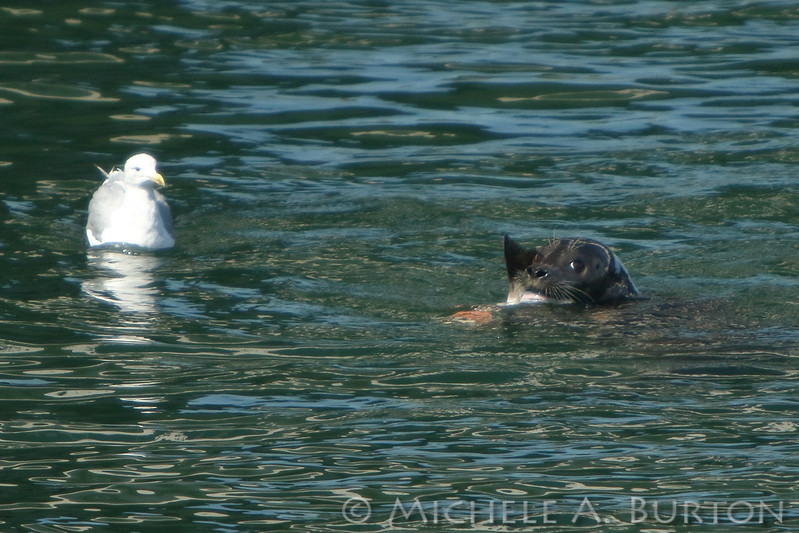 A gull watches as a Harbor seal warily guards its freshly caught salmon