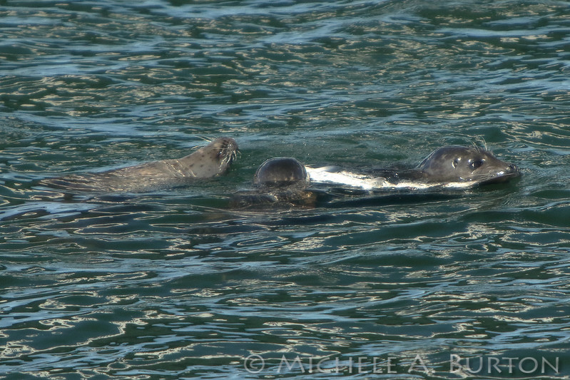 Harbor seals sharing a salmon caught during the Fall Chinook Run in Olympia, WA
