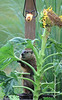 Groundhog and sunflower 0710-2
