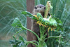 Groundhog and sunflower 0710-10