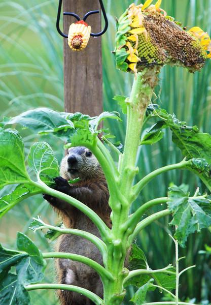 Groundhog and sunflower 0710-1