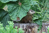 Groundhog eat sunflower leaf-1