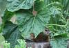 Groundhog under sunflower-1