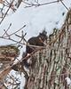 Black squirrel in snow