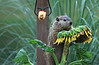 Groundhog and sunflower 0710-9