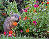 Groundhog smelling the flowers