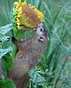 Groundhog eating sunflower-1-2