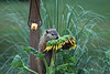 Groundhog and sunflower 0710-8