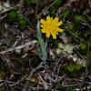 Virginia Dwarf Dandelion (Krigia virginica)