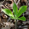 Large Whorled Pogonia Orchid (Isotria verticillata)