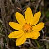 Lanceleaf Tickseed (Coreopsis lanceolata)