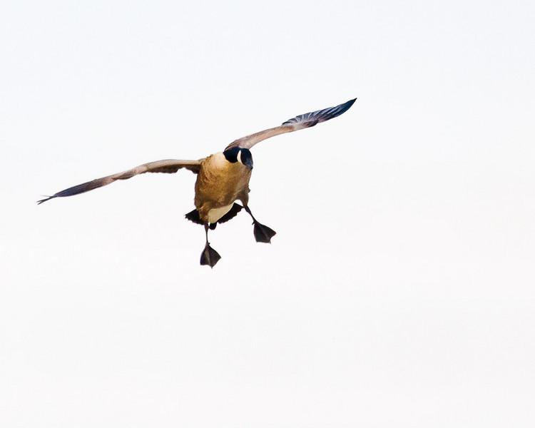 Canada Goose landing.