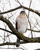 Cooper's Hawk checking me out.