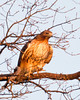 Red-tailed Hawk in early morning sun.