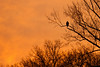 A Bald Eagle guarding its nest as the sun comes up.