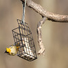 Baltimore Oriole on suet, Bedford County, PA