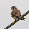 American Kestrel (adult female)
