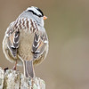 White-Crowned Sparrow, Bedford County, Pennsylvania